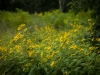 Flowers along Blue Ridge Parkway