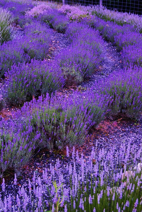 Mountain Farm Lavender