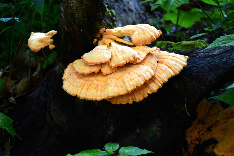 Big-Walker-Mushroom-s