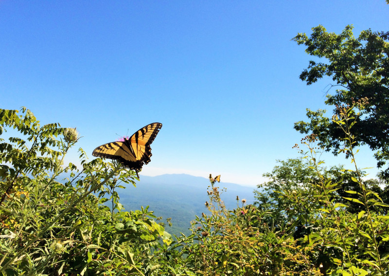 This butterfly had a great view from the side of Apple Orchard Mountain.