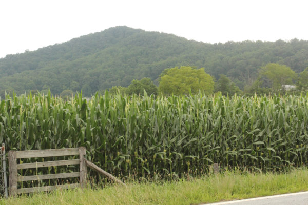 Corn Field in Fairview